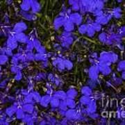 Purple Lobelia Art Print