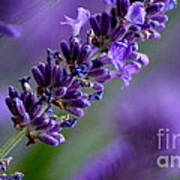 Purple Nature - Lavender Lavandula Art Print