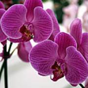 Royal Orchids  Art Print