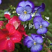 Purple Pansy Flowers By Line Gagne Art Print