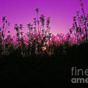 Purple Paradise Sunset By Diana Sainz Art Print