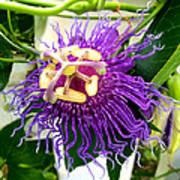 Purple Passion Flower Art Print