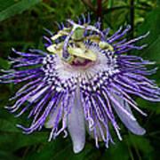 Purple Passionflower Art Print