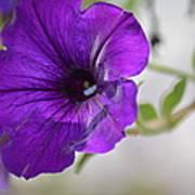 Purple Petunia 2013 Art Print