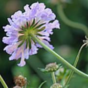 Purple Pincushion Flower Art Print