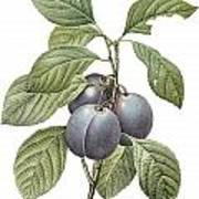 Purple Plum Art Print