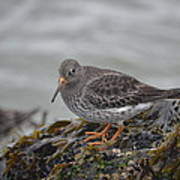 Purple Sandpiper 2 Art Print