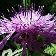 Purple Thistle Art Print