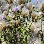 Purple Thistle Art Print by Gerald Murray Photography