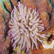Purple Tip Anemone Art Print