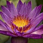 Purple Tropical Water Lily Art Print