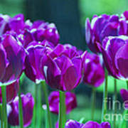 Purple Tulips Art Print