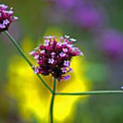 Purple Verbena Flowers Art Print