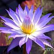 Purple Waterlily With Fall Lilypads Art Print