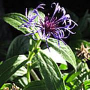 Purple Wildflower Art Print
