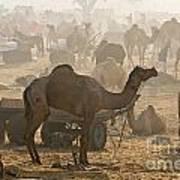 Pushkar Camel Fair - India Art Print