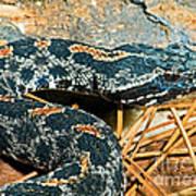 Pygmy Rattlesnake Art Print