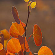 Quaking Aspen In Color   #3749 Art Print