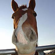 Quarter Horse Portrait Nosing Around Art Print