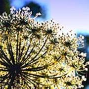 Queen Anne's Lace II Art Print