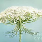 Queen Anne's Lace Wildflower Art Print