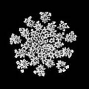 'queen Anne's Snowflake' Art Print