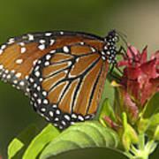 Queen Butterfly Art Print