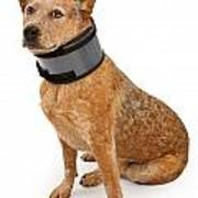 Queensland Heeler Dog Wearing A Neck Brace Print by Susan Schmitz