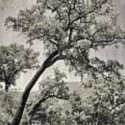 Quercus Suber Retro Art Print