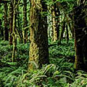 Quinault Rainforest Art Print
