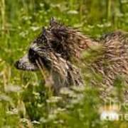 Raccoon In The Meadow Art Print