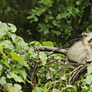 Raccoon Out On A Limb Art Print