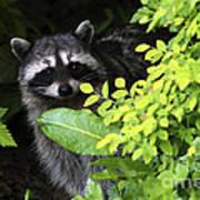 Raccoon Peek-a-boo Art Print
