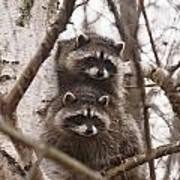 Raccoon Siblings Art Print