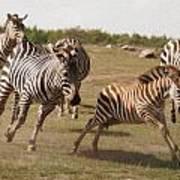 Racing Zebras 1 In Color Art Print