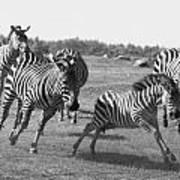 Racing Zebras 1 Art Print