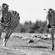 Racing Zebras Art Print
