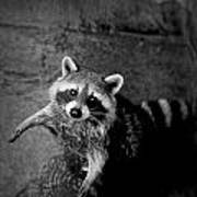 Racoon Bandit Art Print