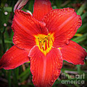 Radiant In Red - Daylily Art Print
