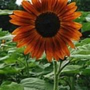 Radiant Sunflower  Art Print