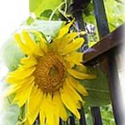 Railed Sunflower Art Print