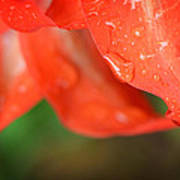 Rain Dance - Red Flower Photography By Sharon Cummings Art Print