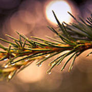 Rain Droplets On Pine Needles Print by Loriental Photography