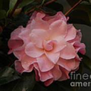 Rain Kissed Camellia Art Print