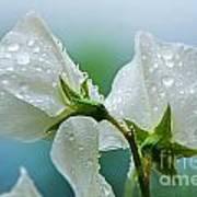 Rain On Sweet Peas Art Print