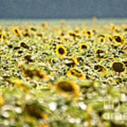 Rain On The Sunflowers Art Print