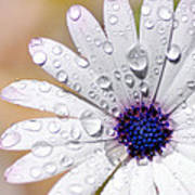 Rain Soaked Daisy Art Print