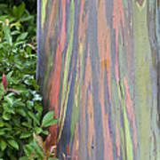 Rainbow Eucalyptus Art Print