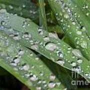 Raindrops On Daylily Leaves Art Print