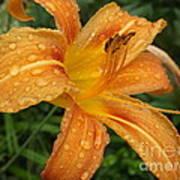Raindrops On Golden Lily Art Print